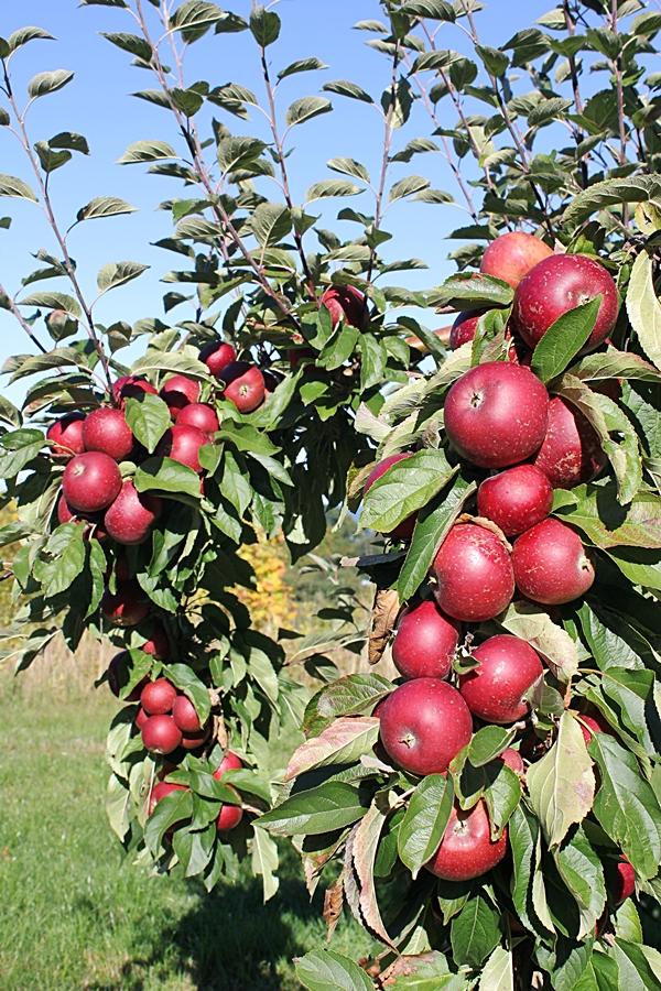 Äppelmarknad i Kivik